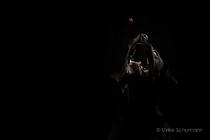 Taiga Labrador Retriever