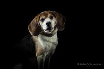 Beagle Murphy