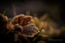 Frosttautropfen