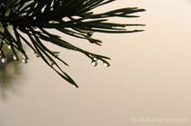 Kiefernadeln im Nebel