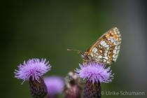 Distelm mit Schmetterling