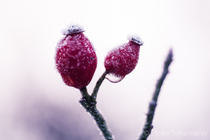gefrorene Hagebutten