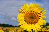 Sonnenblumen Gahry